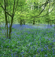 Bere Forest Bluebells